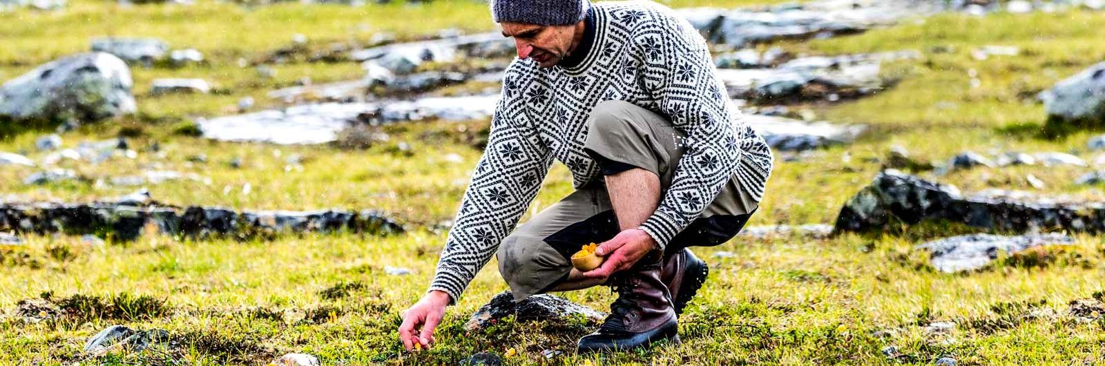Man plockar hjortron längs Kungsleden