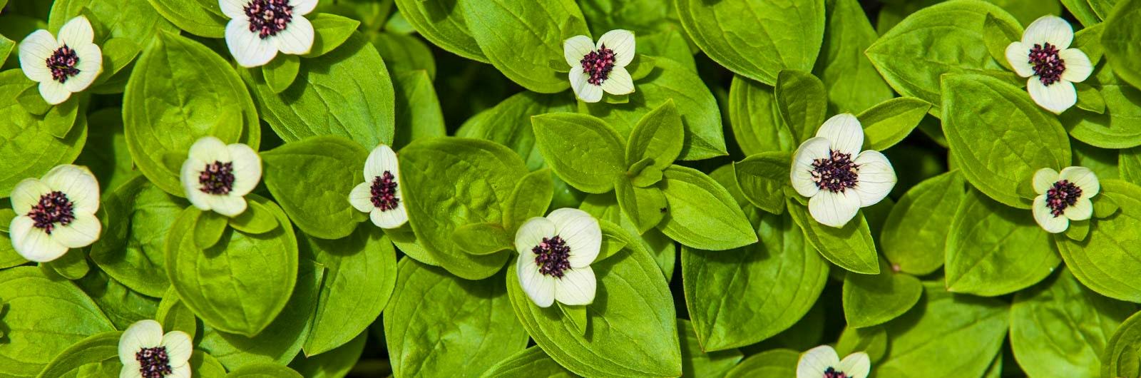 Vita blommor bland gröna blad i närbild
