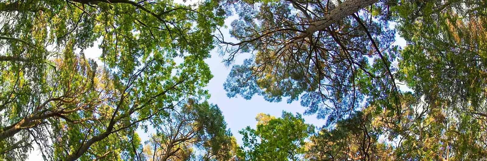 Trädkronor och himmel