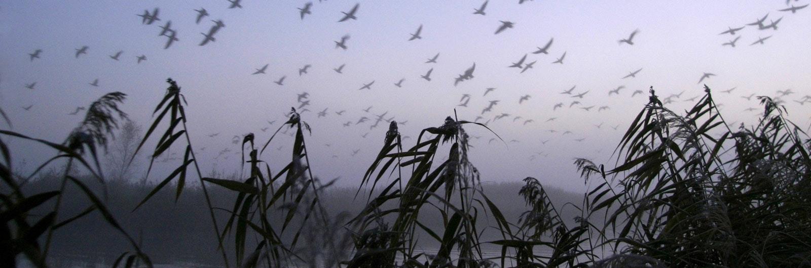 Fåglar som flyger i dimma