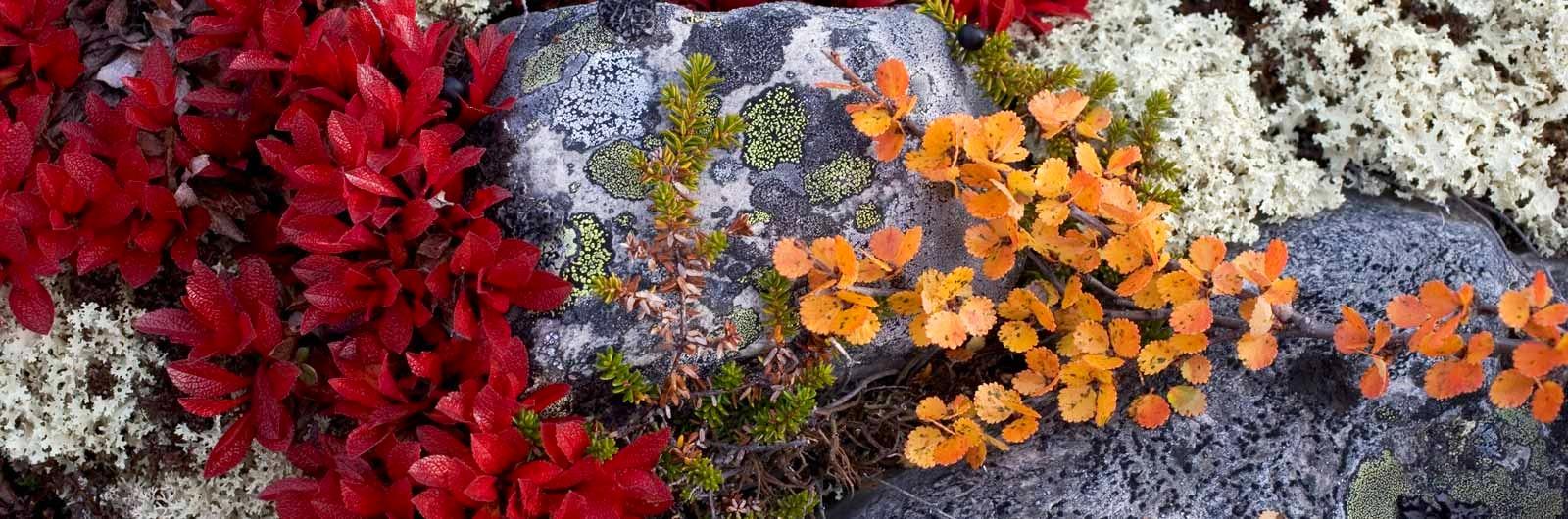 Färgglada lavar på klippa