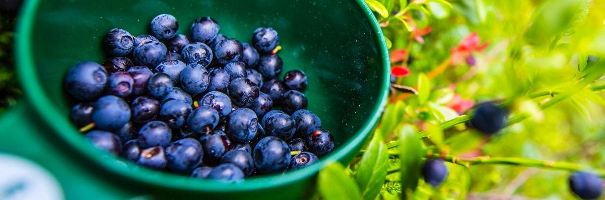 Närbild på blåbär i kåsa