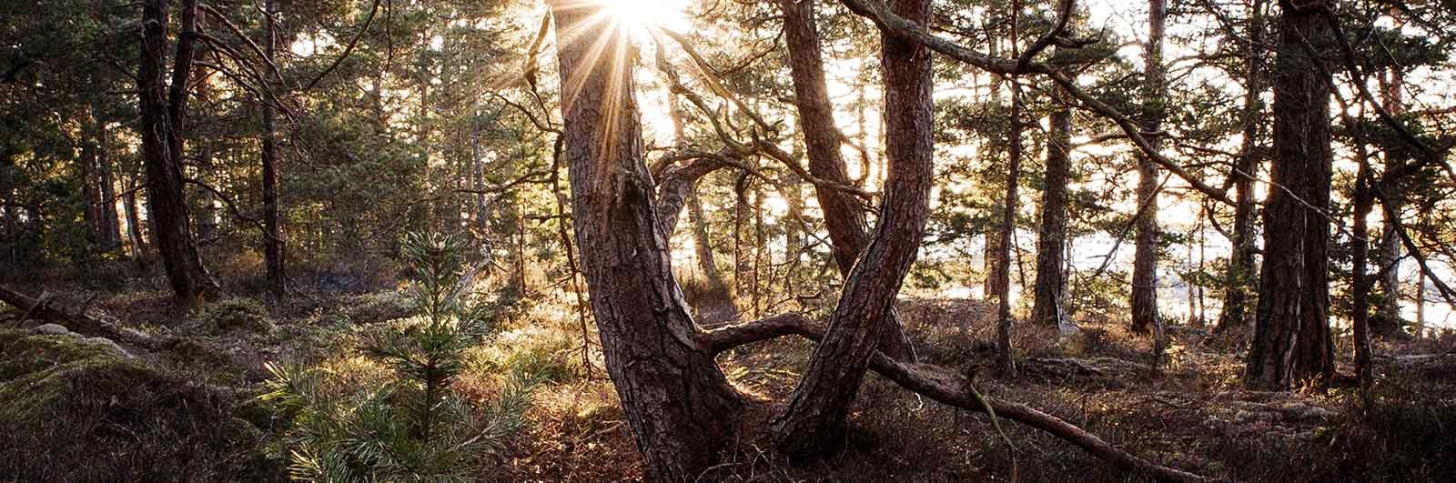 Solljus genom skogen på signaturled Värmland