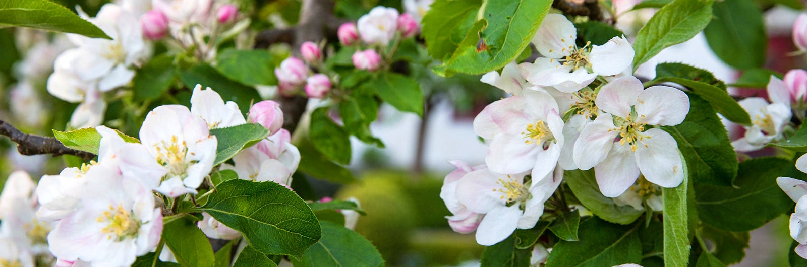 Rosavita blommor i närbild