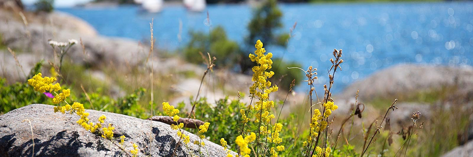 Glittrande hav och gul skärgårdsblomma
