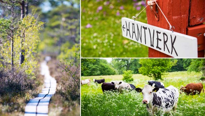 Kollage med kor, skylt och vandringsled