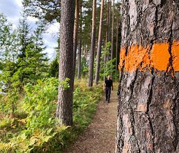 Upplandsleden orange ledmarkering på träd