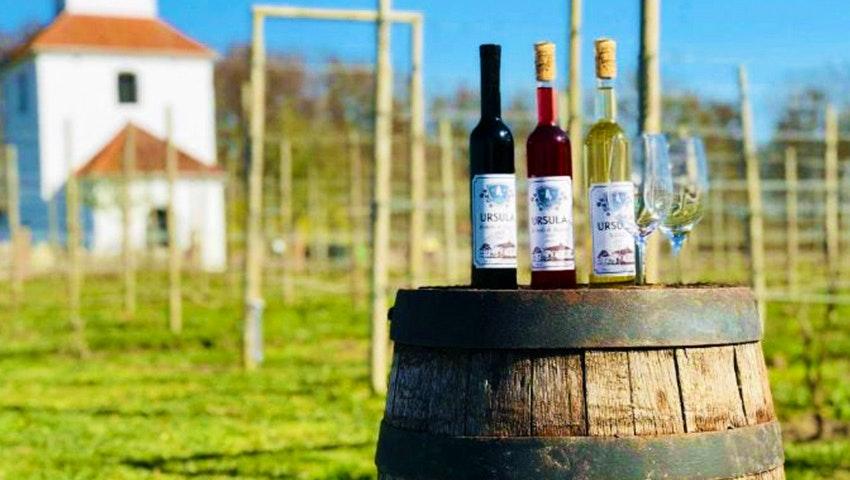 egenproducerat, svenskt vin på Ivögården i Skåne